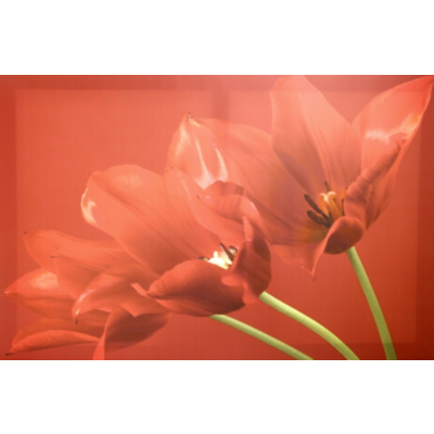 Red Tulips Wall Art Canvas Print, Red 002431